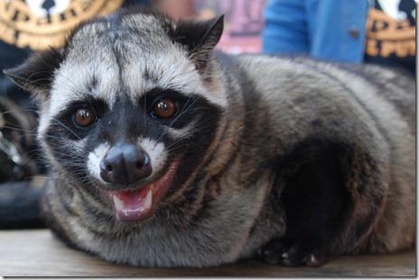 musang-pandan